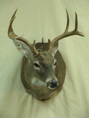 Deer - Fins to Feathers Taxidermy